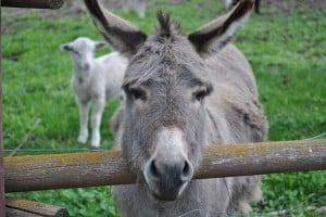 donkey-300x200