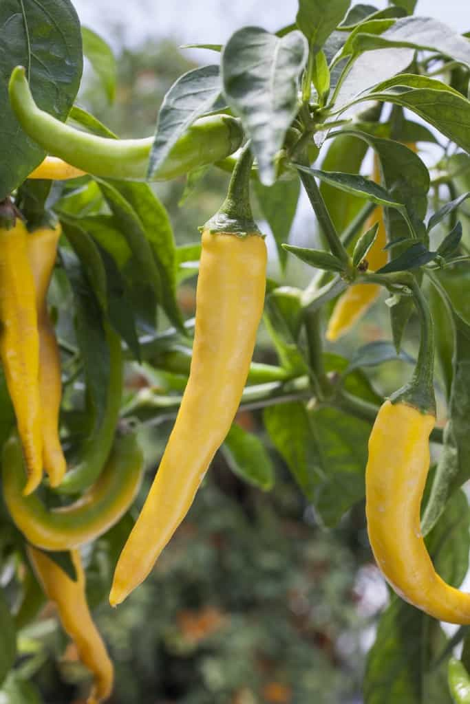Golden cayenne peppers_photocredit_BonniePlants
