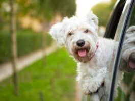 Ways to Make Your Dog Comfortable During a Road Trip